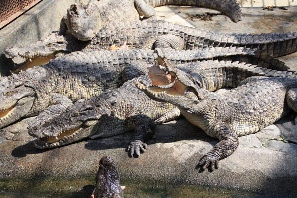 熱川バナナワニ園『夏のワニッコまつり』のご案内